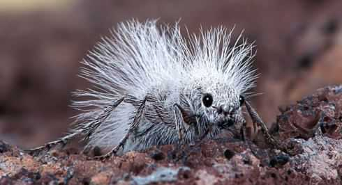 """So, You Think You're Having a Bad Hair Day?!""""  A Thistledown Velvet Ant, also known as a """"Cow Killer"""".  It isn't really an ant, but a wingless female wasp...This photograph was taken by Robert Jensen, aged 58, in the Mojave Desert, California.  Robert's son Chris, aged 22, found this one wondering around on the ground.  It is about 2 cm's in length.  The males are much smaller and do have wings.  The adults feed on nectar and water.  Their sting can be quite painful.. .PLEASE BYLINE: Robert Jensen/Solent News..© Solent News & Photo Agency.UK +44 (0) 2380 458800."""