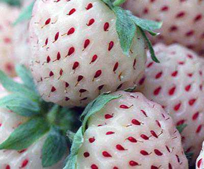 interesting facts about strawberry pineberry 21694997 Foto Gump do dia: Morangos brancos