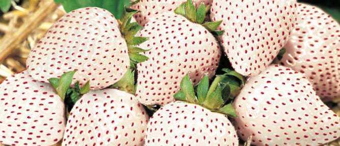 morangos brancos capa Foto Gump do dia: Morangos brancos