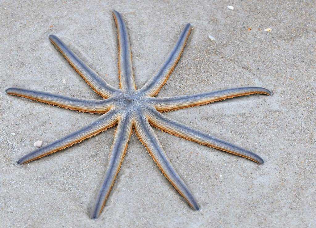 Luidia senegalensis, uma espécie com 9 braços.