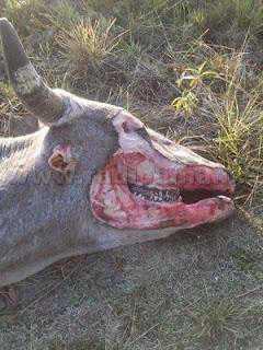 Mutilated Cow Argentina 002 A vaca abduzida por um ufo?