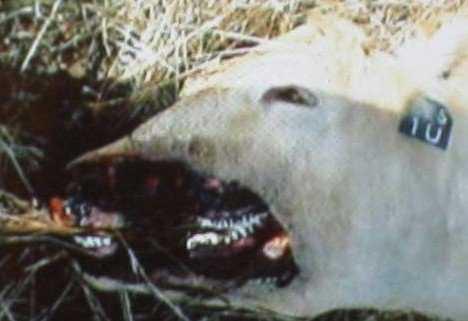 r0300259 A vaca abduzida por um ufo?