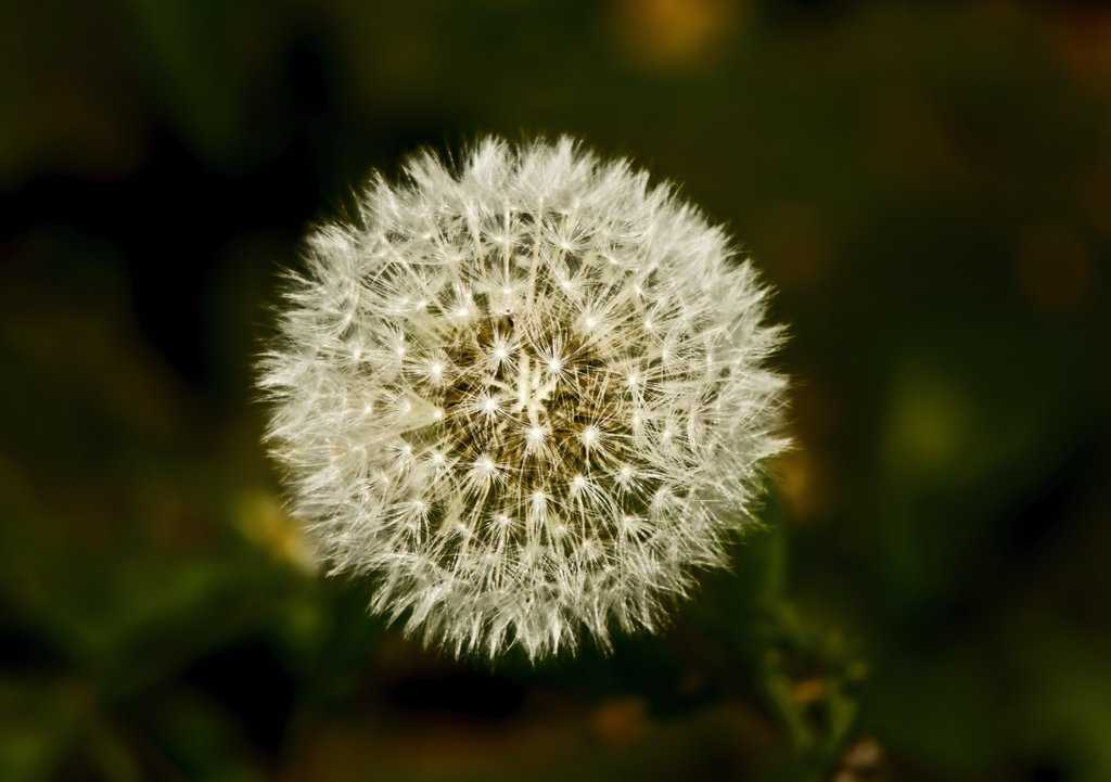 dandelion_low