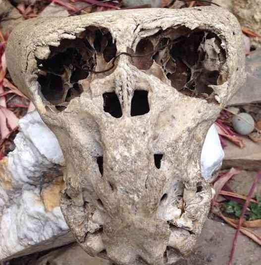 8150 1012309868792316 1330394580416435856 n O mistério dos crânios bizarros descobertos nas montanhas da Russia