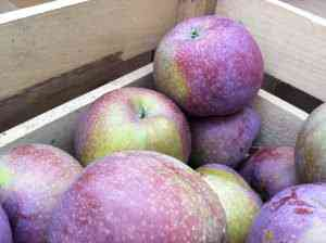 BluePearmain 1 300x224 A maçã mais bizarra que você já viu