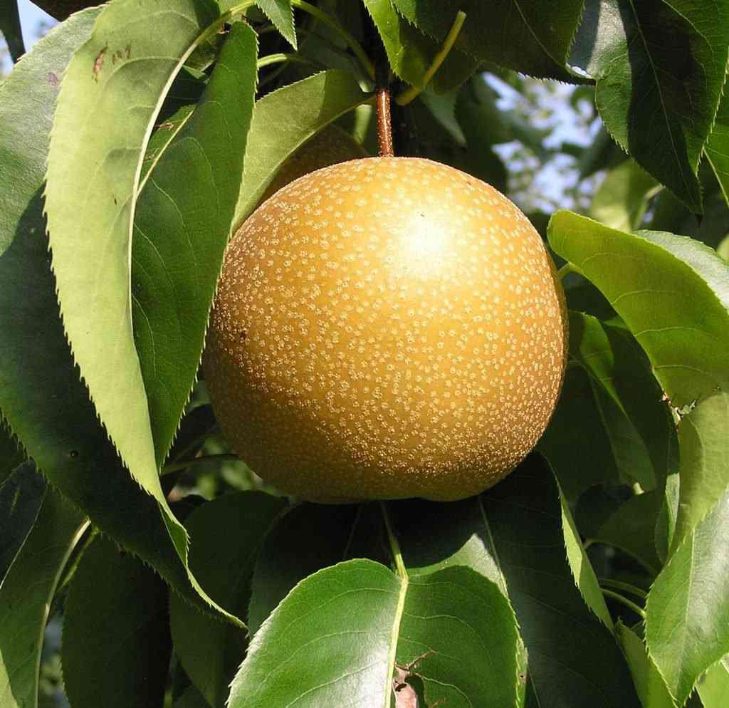 ChujuroPear 1024x994 A maçã mais bizarra que você já viu