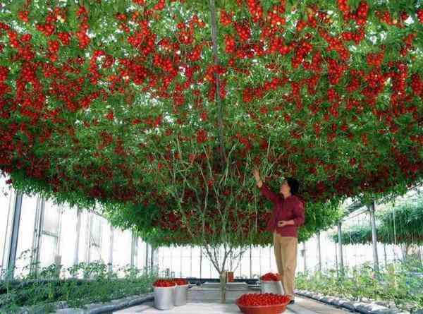 octopus tomato tree 600x445 Isso que é produtividade: Conheça a arvore que está dando mais de 32.000 tomates de uma só vez!