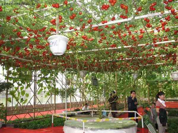 octopus tomato tree4 600x450 Isso que é produtividade: Conheça a arvore que está dando mais de 32.000 tomates de uma só vez!