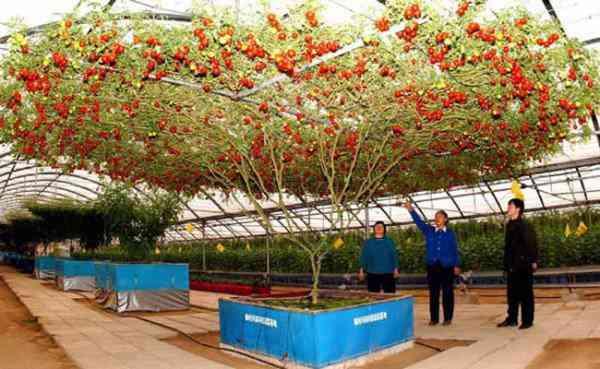 octopus tomato tree7 600x369 Isso que é produtividade: Conheça a arvore que está dando mais de 32.000 tomates de uma só vez!