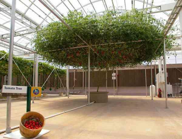 octopus tomato tree8 600x459 Isso que é produtividade: Conheça a arvore que está dando mais de 32.000 tomates de uma só vez!