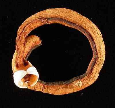 Shipworm Conheça a bizarra iguaria chamada Shipworm
