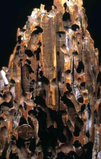 Teredolites Conheça a bizarra iguaria chamada Shipworm