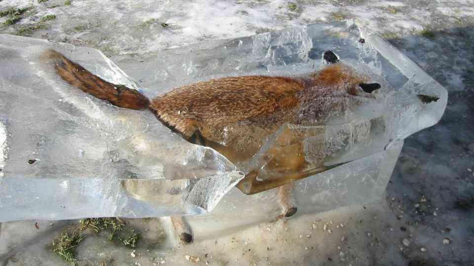 0 1bcc1f 8c05404b orig O bizarro caso da raposa congelada