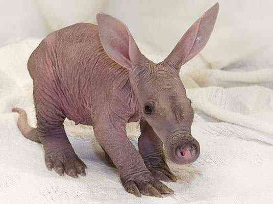 desktop 1432305119 Incríveis animais... Carecas