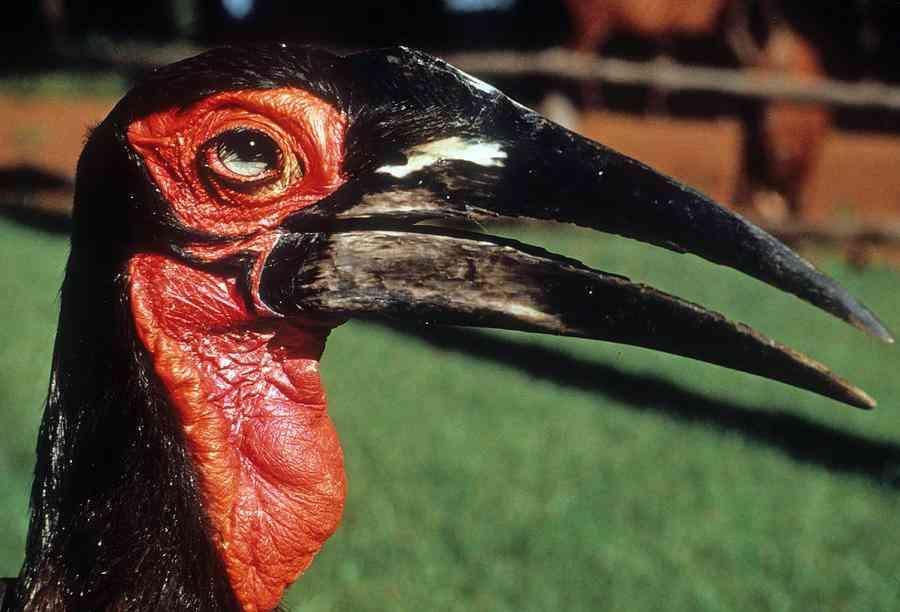 1 2nd ugliest bird in the world carl purcell Top 10 das aves mais feias do mundo