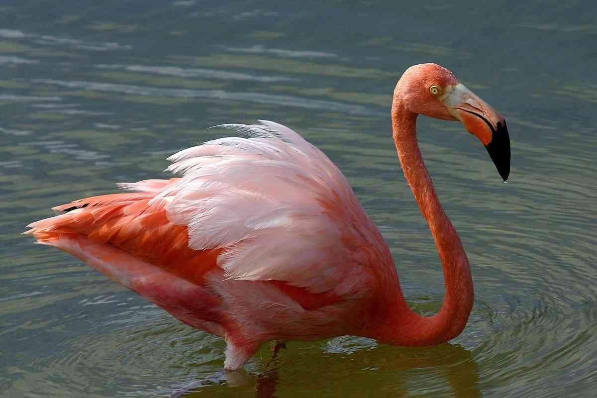 1200px American flamingo Phoenicopterus ruber Top 10 das aves mais feias do mundo