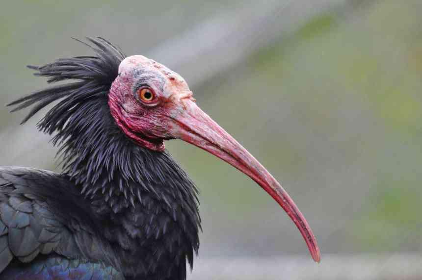 5603337676 e43375f89f o 860x571 Top 10 das aves mais feias do mundo