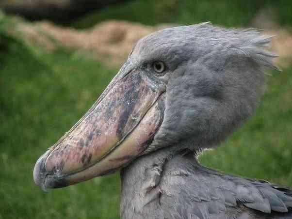 main qimg d28e2222aa505ac9994c2c155380d8ed c Top 10 das aves mais feias do mundo