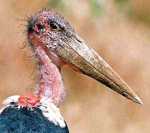 worlds ugliest bird Top 10 das aves mais feias do mundo