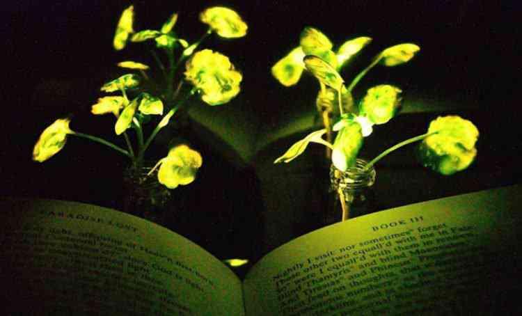 glowing plant 750x454 MIT descobre jeito de fazer as plantas brilharem no escuro