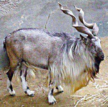 609190Markhor  Os animais com os chifres mais legais do mundo