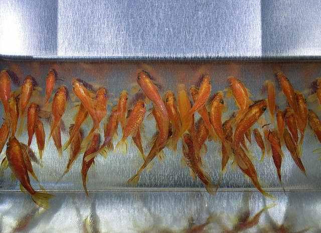 7149066592960523 e63410ed82 z Riusuke Fukaori, o criador de peixinhos