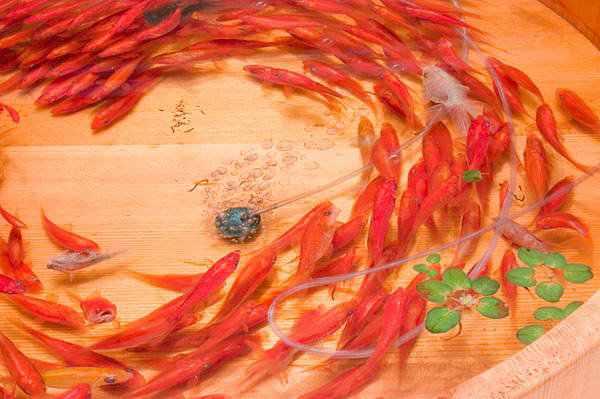 714906goldfish 2 3 Riusuke Fukaori, o criador de peixinhos