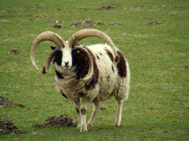 956033four horn edit Os animais com os chifres mais legais do mundo