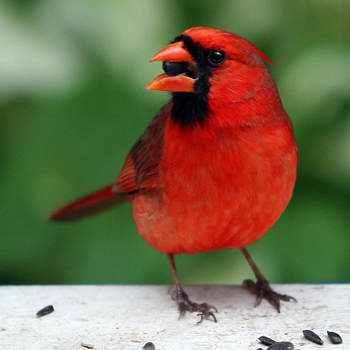 966890121006 red bird Animais vermelhos