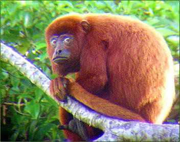 966890Red Howler Monkey Animais vermelhos