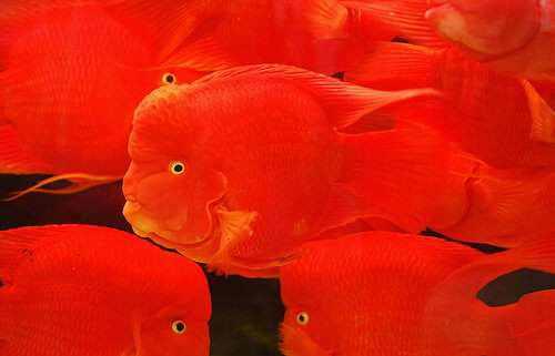 966890crvenariba Animais vermelhos