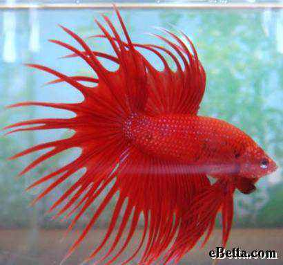 966890red betta fish Animais vermelhos