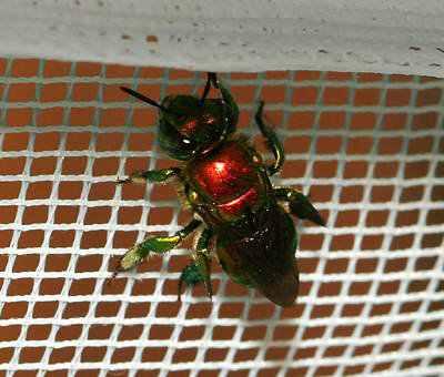 966890red metallic bee Animais vermelhos