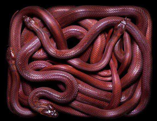 966890red snake Animais vermelhos