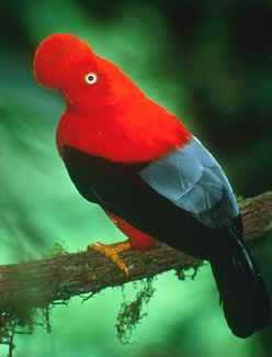 966890rupicola photo33 Animais vermelhos