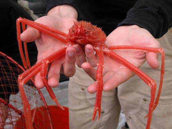 966890spider crab 600 Animais vermelhos