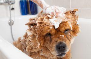 Banho em cães com Dr. Edgard Brito