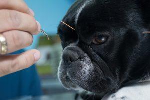 Acupuntura animal: vantagens de uma técnica sem efeitos colaterais com Dr. Juliano Tuboni