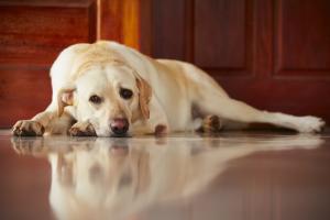 Como minimizar o impacto da solidão em cães com Dr. Renato Zanetti