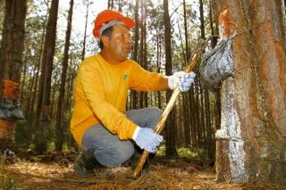 Nivaldo Soares faz a retirada de resina há 7 anos, fazendo a extração da goma em 530 árvores por dia. <br /><small style='font-size:11px; display:block; margin-top:10px'><em>Foto: Mike Adas</em></small>