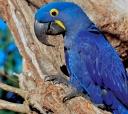 Atualmente essas ararinhas azuis são consideradas as mais raras do planeta, o contrabando é um dos prncipais fatores de ameaça da bela espécie