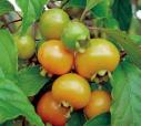 Gabiroba, fruto pequeno menor que a jabuticaba, um pouco adocicado e com sabor esquisito