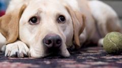 Depressão pode afetar tanto o gato como o cão, mas a prevalência maior é em cachorros, podendo ser desencadeado por vários motivos