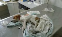 Um filhote envenenado foi resgtado pela UIPA nesta semana e continua lutando para sobreviver