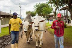 A ExpoAgro também receberá animais das raças Nelore,  Simental, Senepol, Guzerá e Girolando