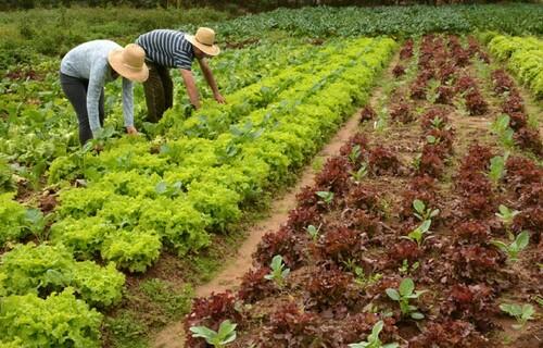 Colheita: Fernando Dias/Secretaria do Desenvolvimento Rural