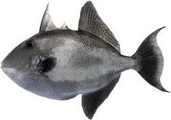 Peixe Fresco Porquinho Inteiro kg