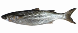 Peixe Fresco Tainha Int kg