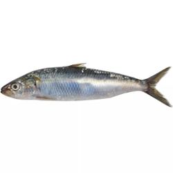 Peixe Fresco Sardinha  Int kg