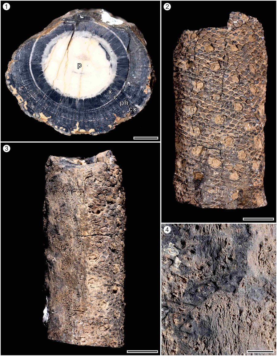 Iratinia australis   spiekermann et al.  review of palaeobotany and palynology  2021  %283%29